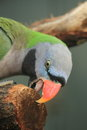 Derbyan parakeet Royalty Free Stock Photo