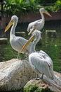Descanso de 3 pelicanos Imagem de Stock Royalty Free