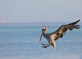 Descending Peruvian Pelican Royalty Free Stock Images