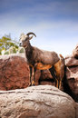 Desert Big Horn Sheep Stock Photography