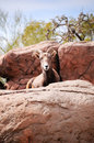 Desert big horn sheep Royalty Free Stock Photography