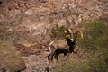 Desert big horn sheep Stock Photos