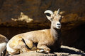 Desert big horn sheep female lying on the rocks Royalty Free Stock Photo