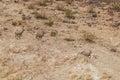 Desert Bighorn Ewes Running Royalty Free Stock Photo