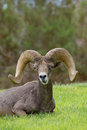 Desert bighorn ram bedded a sheep in a grass field Royalty Free Stock Photos