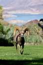 Desert bighorn ram head on a sheep stands Stock Photos