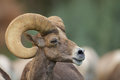 Desert bighorn ram portrait a big sheep close up Royalty Free Stock Images