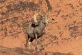 Desert Bighorn Ram in red Rocks