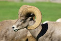 Desert bighorn ram a sheep close up Stock Image