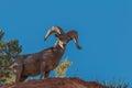 Desert Bighorn Ram Royalty Free Stock Photo