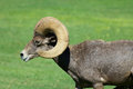 Desert bighorn ram side view a close up portrait of a sheep Stock Photography