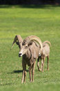 Desert bighorn rams a pair of sheep in a meadow Royalty Free Stock Photos