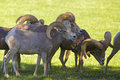 Desert bighorn rams a small group of sheep Royalty Free Stock Photo