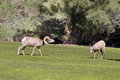Desert bighorn in rut a sheep ram approaches a ewe during the Royalty Free Stock Image