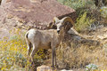 Desert Bighorn Sheep in Anza Borrego Desert. Stock Photo