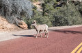 Desert bighorn sheep crossing the road in zion national park Royalty Free Stock Photos