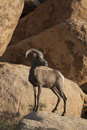 Desert bighorn sheep a female climbs up a rock wall Royalty Free Stock Image