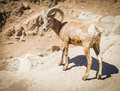 Desert bighorn sheep on the hillside Stock Images