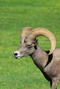Desert bighorn sheep ram a close up side portrait of a Royalty Free Stock Photos