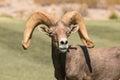 Desert Bighorn Sheep Ram Portrait Royalty Free Stock Photo