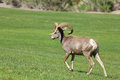 Desert bighorn sheep ram walking a across a grass field Royalty Free Stock Photography