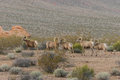 Desert Bighorn Sheep Rams Royalty Free Stock Photo