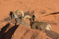 Desert Bighorn Sheep Rams Royalty Free Stock Photo