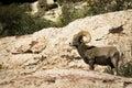 Desert bighorn sheep in Red Rock NCA Nevada Stock Photos