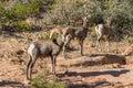 Desert Bighorn Sheep Rutting