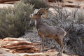 Desert bighorn sheep in zion national park Royalty Free Stock Photos
