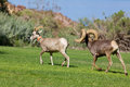 Desert bighorns in rut a bighorn sheep ram chasing a ewe during the Royalty Free Stock Photo