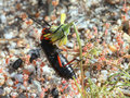 Desert blister beetle lytta magister a in anza borrego state park Stock Photography
