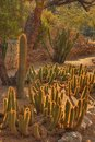 Desert Cacti Royalty Free Stock Photography