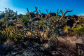 Desert Cactus in Morning Sun.  Backlit. Royalty Free Stock Photo