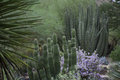 Desert cactus and texas ranger sage bush in bloom with in background Stock Images