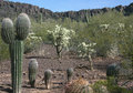 Desert cactus tucson arizona saguaros in the with mountain background Stock Photo