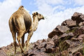 Desert and camel Royalty Free Stock Photo
