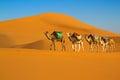 Desert caravan camel moving in sahara in morning Stock Photos