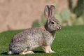 Desert cottontail in grass a rabbit sitting green Stock Photos