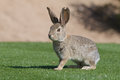 Desert cottontail rabbit a in green grass Royalty Free Stock Photography