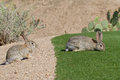 Desert cottontail rabbits a pair of cute Stock Photo