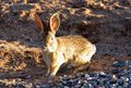 Desert Cottontail Shows Her Unhappiness for Winter Weather Royalty Free Stock Photo