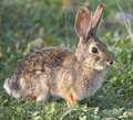 Desert Cottontail Rabbit Sylvilagus audubonii in the Meadow Royalty Free Stock Photo