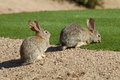 Desert cottontails a pair of cottontail rabbits Stock Photography
