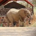 Wild African desert elephant luxury tent safari camp, Damaraland, Namibia Royalty Free Stock Photo