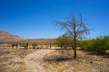 Desert farm yard lone tree grows in the abandoned in the mojave Stock Photography