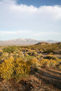 Desert flowers blooming yellow bloom in the with mountains in the background Stock Photography