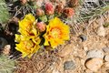 Desert flowers detail of yellow flower of prickly pear Royalty Free Stock Photography