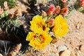 Desert flowers detail of yellow flower of prickly pear Royalty Free Stock Image