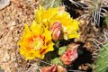 Desert flowers detail of yellow flower of prickly pear Stock Photos